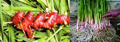 Jual Bibit Jahe Merah Yogyakarta jual bibit tanaman dan jasa pembuatan taman