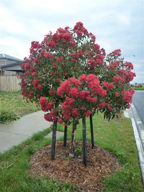 australian flowering shrub australian trees gardening with angus
