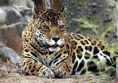 imagenes jaguares de chiapas per 250 fotos de jaguares en parque zool 243 gico de huachipa