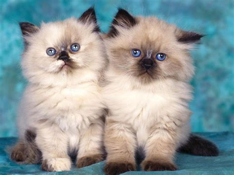 twin cats pin baby siamese cat on pinterest