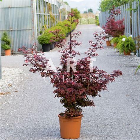 acheter erable du japon acer palmatum shaina