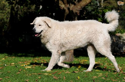 best guard breeds 10 best guard breeds pets4homes