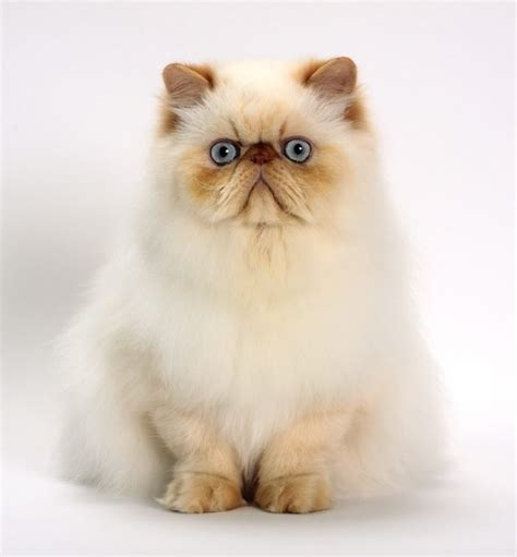 himalayan cats pin cats himalayans white blue eyed hair exotics persians