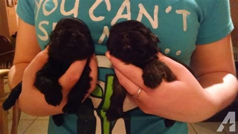 imperial shih tzu puppies michigan tiny shih tzu imperial puppies 8 10pounds grown for sale in sand
