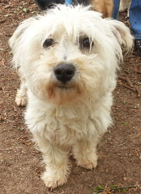 westie puppies for adoption rescue westie peterborough cambridgeshire pets4homes