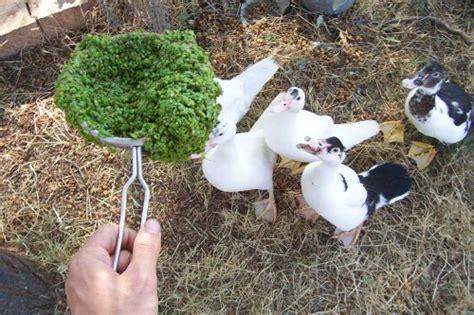 alimento para patos domesticos el pato mudo o muscovita bosque de alimentos
