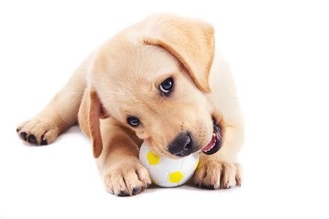 cubes for teething puppies 3 tips for avoiding puppy teething issues hill s pet