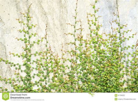 vine wallpaper for walls ivy vine on wall stock photo image of garden creeper