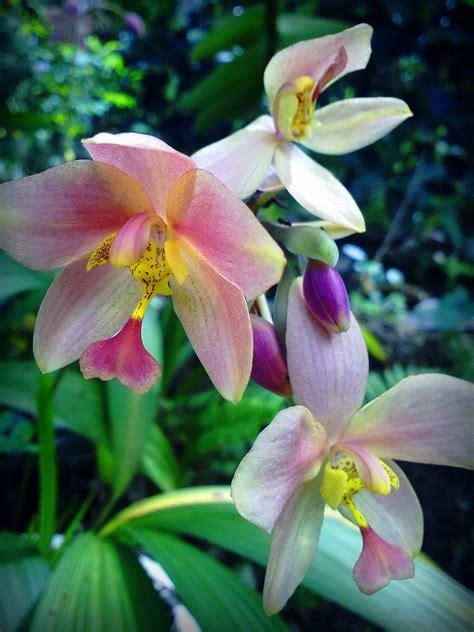 wallpaper bunga lembut gambar nama bunga malaysia orchid hybrid gambar orkid