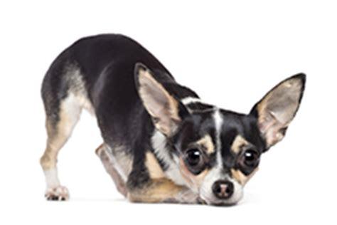 hond plast in huis na uitlaten je hond plast in huis bach bloesems kunnen helpen