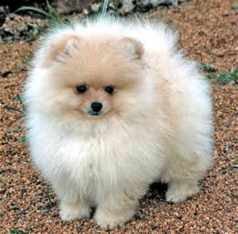 hair pomeranian puppies for sale pomeranian puppies for sale puppies for sale pomeranian laurietooker