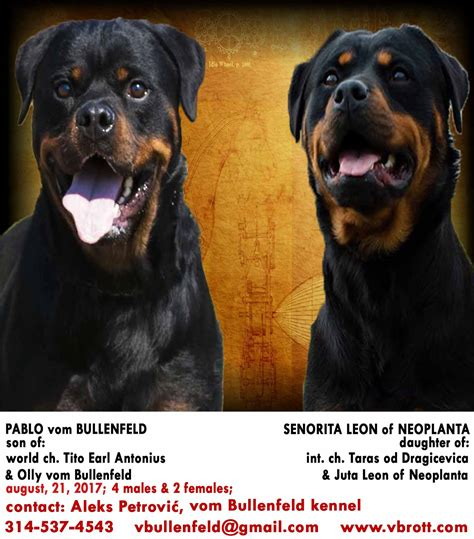 german rottweiler puppies for sale in missouri german rottweiler breeder in missouri with rottweiler puppies for sale
