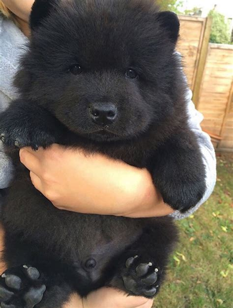 black chow puppy 12 puppy breeds that look like teddy bears yiral