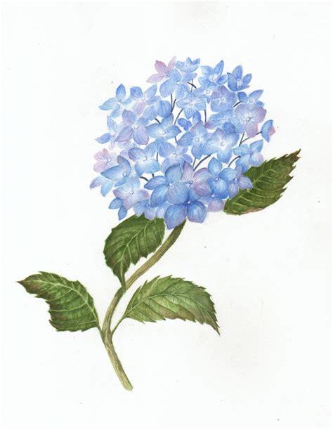 purple hydrangea drawing www pixshark com images