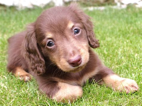 mini longhaired dachshund puppies special chocolate miniature longhaired dachshund rugeley staffordshire pets4homes