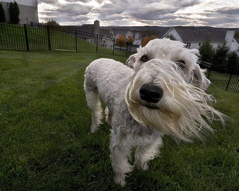 Wheaten Terrier Shedding by Soft Coated Wheaten Terrier Breed Soft Coated Wheaten