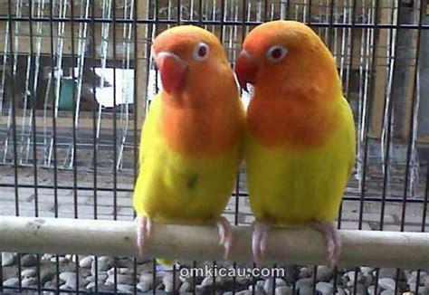 Wp Lovebird Bertelur Breding Obat Burung tips burung kicauan mencegah dan mengatasi induk yang macet produksi simomot