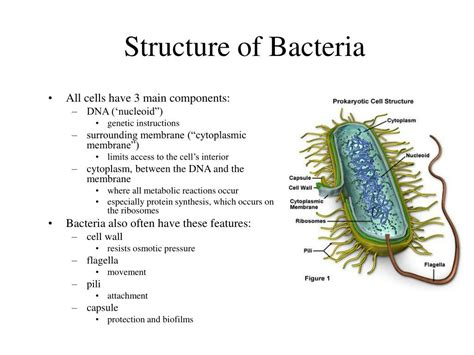 bacterial structure powerpoint  id