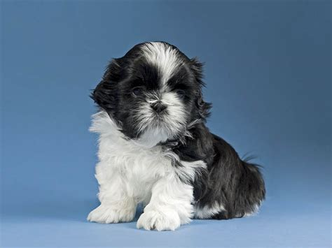 shih tzu pros and cons when should i spay my shih tzu puppy 1001doggy