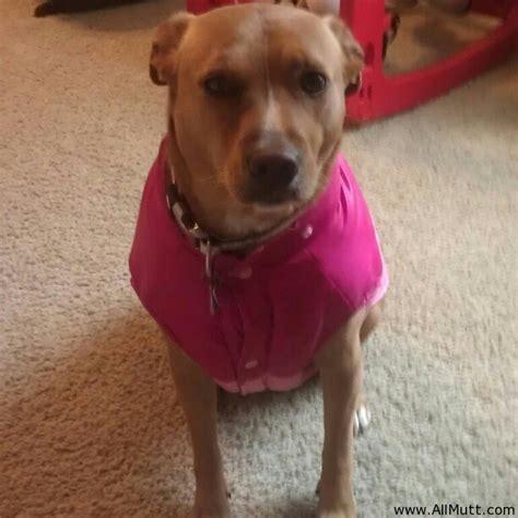 pitbull lab puppies bailey the labrador retriever american pit bull terrier mix allmutt