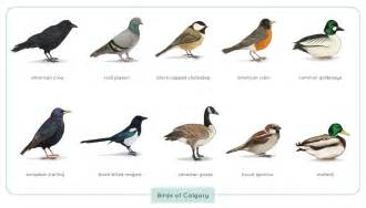 common birds of calgary by astro phase on deviantart