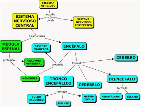 mapa conceptual del sistema nervioso funcion del cerebelo related keywords funcion del