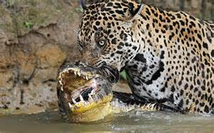 What Is A Jaguars Predator Organisms Of The Rainforest The Rainforest