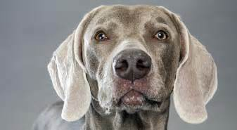 weimaraner colors weimaraner breed information american kennel club