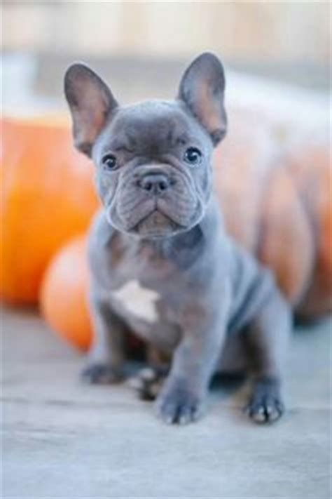 blue frenchie puppy 1000 ideas about blue bulldogs on bulldogs bulldogs and