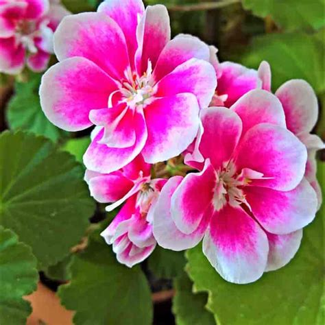 best scented geranium indoors 35 of the best indoor plants for your home