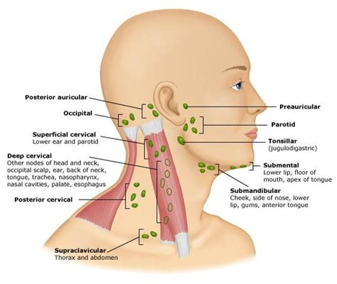 glands in neck diagram lymph nodes thyroid trouble