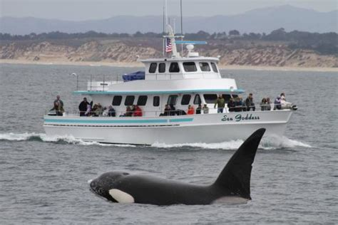 monterey whale watching boats whale watching monterey bay with sea goddess killer whale