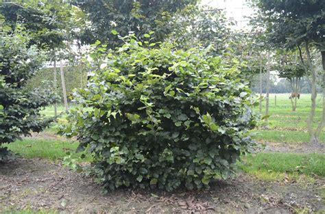fagus sylvatica fagus sylvatica van roessel topiary trees