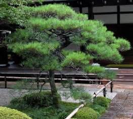 japanese black pine japanese landscaping plants bonsai niwaki pinterest gardens