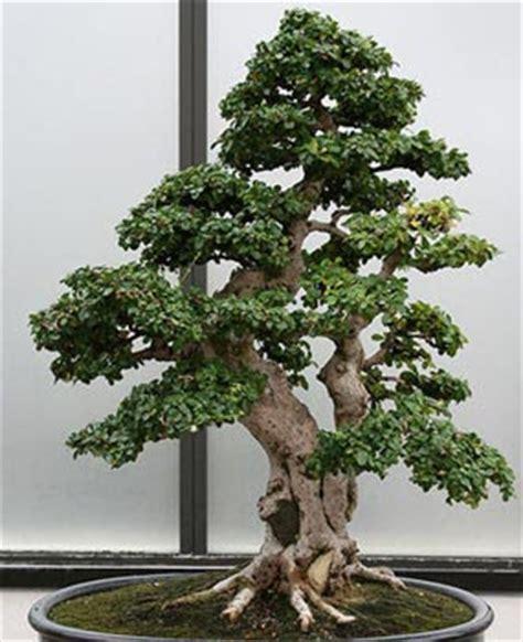 Bonia Mata Black bonsai en republica dominicana carmona macrofila