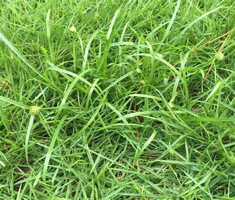 common lawn weeds nutsedge canopy lawn care