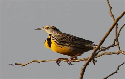 Ks Also Search For Meadowlark The Kansas State Bird Animals Feathers