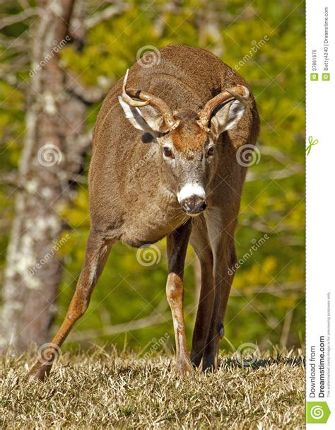 small buck a small buck white tailed deer at cades cove royalty free