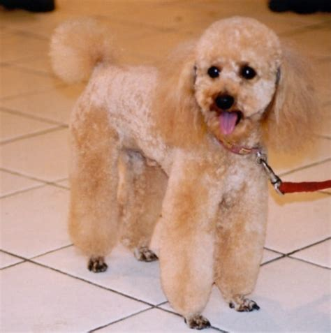 mini poodle weight breed guide