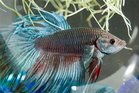 cara menghasilkan warna ungu pada ikan cupang cara mengawinkan ikan cupang