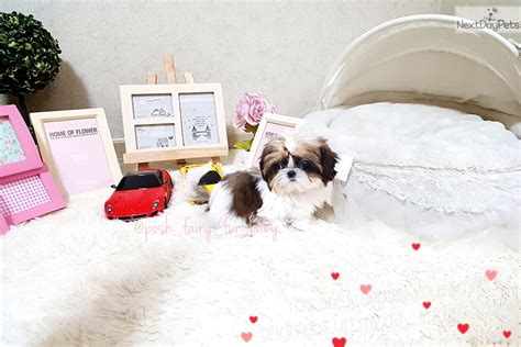 shih tzu puppies richmond virginia julie shih tzu puppy for sale near richmond virginia 00b073d8 1791