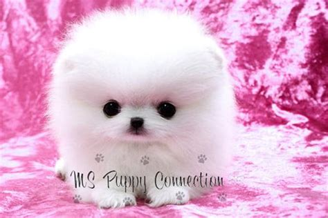 baby white teacup pomeranian ms puppy connection ms puppies for sale hotfrog us