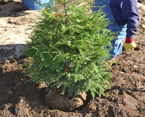 balled christmas tree the consumers guide to caring for and planting a live balled in burlap tree