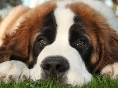 beethoven puppies beethoven dogs www pixshark images galleries with