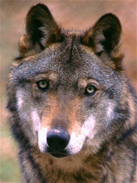 delle cania animale simbolo wwf attualit 224 continua soslupo cagna