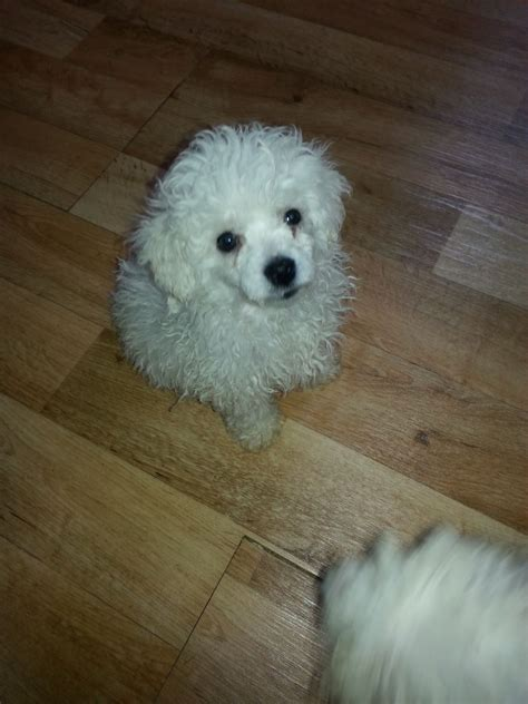 bichon frise puppy bichon frise puppies morpeth northumberland pets4homes