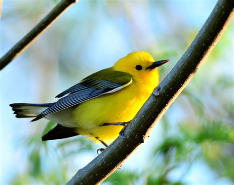 little yellow birds invade fort desoto dina s wildlife