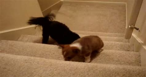 pug going up stairs corgi puppy needs help going up stairs metatube