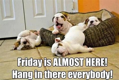 Almost Friday Meme - bowie the silky terrier almost friday