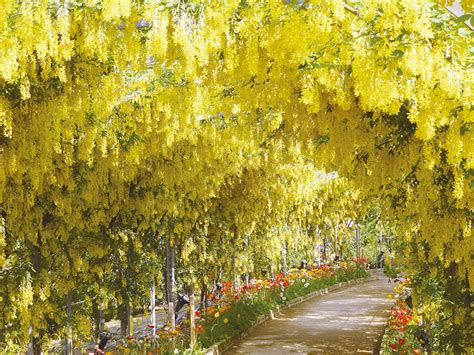 wisteria in japan japan s wisteria festival is almost here and these photos